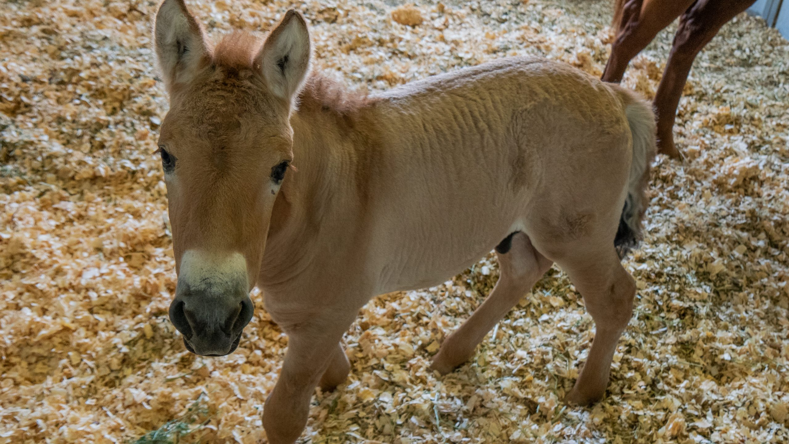 First clone endangered Przewalski Horse Born in Conservation effort to save the species
