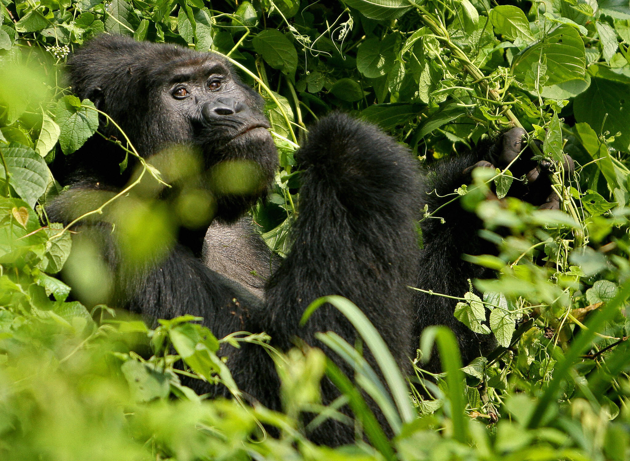 A new study shows that covered a lot more than we gorillas